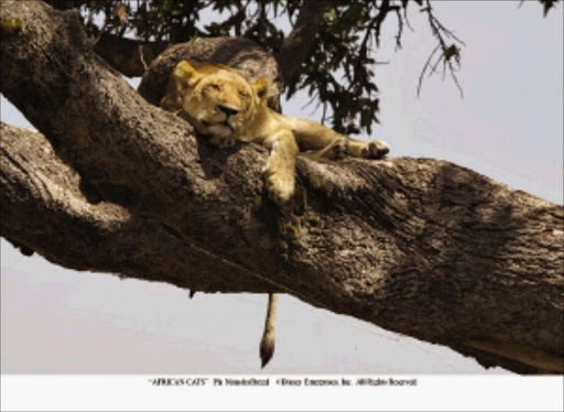 Scenes from African Cats, Disney's latest documentary, include Layla chilling out in a tree, left; and Sita with her litter, opposite. Filmmaker Keith Scholey says the documentary focuses on the two mothers and their mutual enemies - a gang of adult male lions and a pack of hyenas - and their courage in confronting their common problems