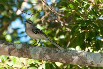 Photo: Tropical Mockingbird (Tropenspottdrossel); Bacalar, QROO