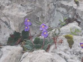 Photo: Ramondia des Pyrénées ou Oreille d'ours (Familier) en pleine floraison