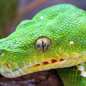 Green Tree Python by Kinga Urban - Animals Reptiles ( python, snake, animals, wildlife, reptile, animal,  )