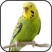Parakeet Wallpapers