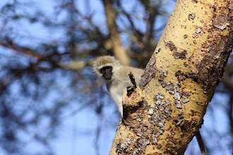 Photo: Vervet Monkey in the Fever Trees nearby.