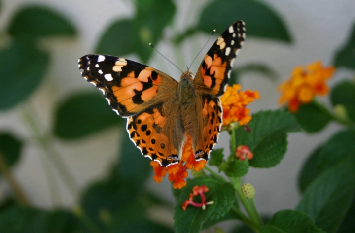 Farfalla di lauracase