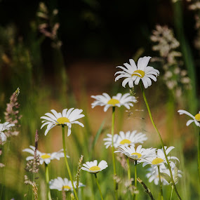 Daisy by Pavel Zach - Flowers Flowers in the Wild ( green, white, grass, yellow, daisy, meadow )