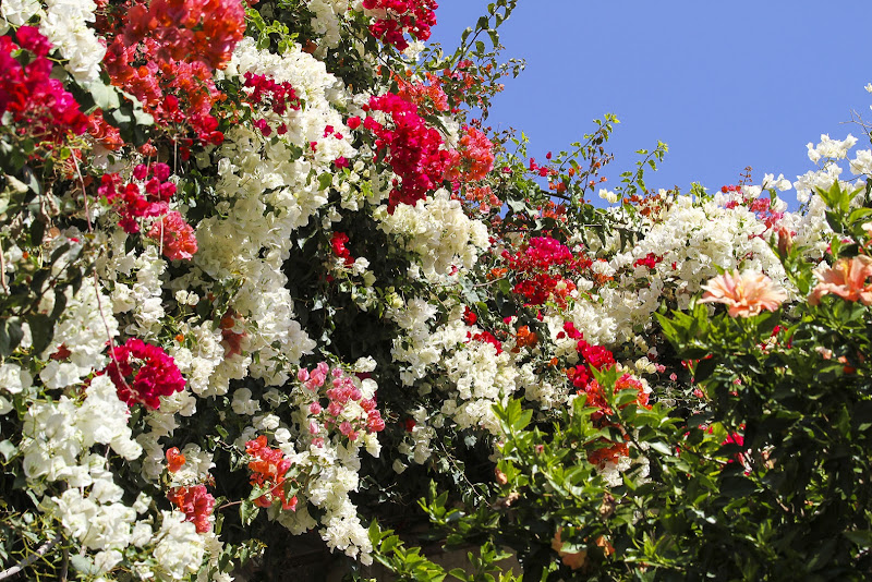Bougainvillea in fiore di daniele1357