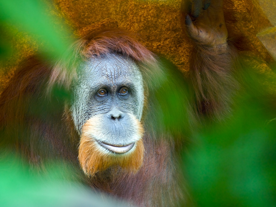 Orangutan by Bob Rockefeller - Animals Other Mammals