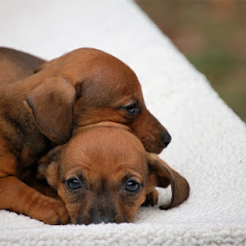 Puppies by Jessica Rose - Animals - Dogs Puppies ( cuddly, mischievous, dogs, weinerdogs, puppies, cute,  )