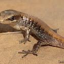 San Diego Alligator Lizard (juvenile)