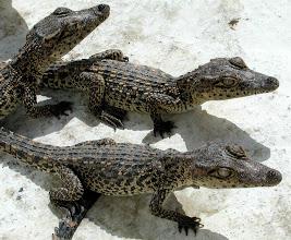 Photo: crocodiles in cuba. Tracey Eaton photo
