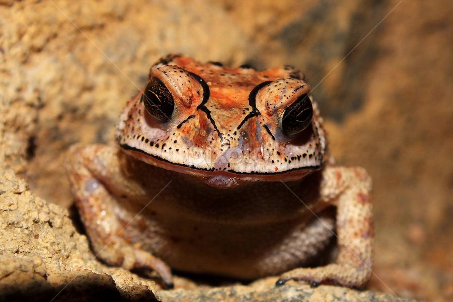 Smiling frpog by Upul.C. Dayawansa - Animals Amphibians ( nature, frog, asia, tavel, wildlife, amphibians, animal,  )