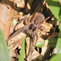 Armed Spider
