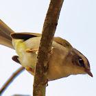 Pula-pula-de-barriga-branca (White-bellied Warbler)