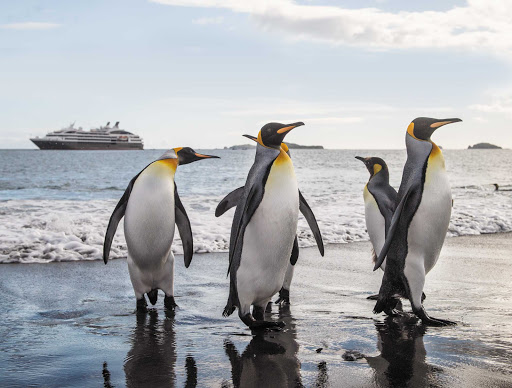 Ponant-Antarctica-Salisbury-penguin.jpg - The Salisbury Plain in the far south Pacific in the breeding ground for 60,000 king penguins.
