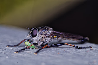 Photo: A Robberfly and its prey at Blackburn Lake Sanctuary  #macro  #macrophotography  #insects  #insectphotography  #insectphotos  #bugs  #melbourne #sexyflies and #bugseveryday
