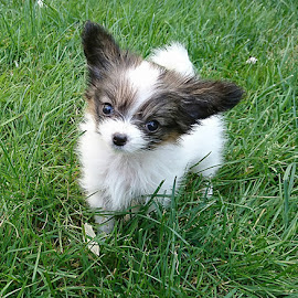The Petite Papillon by Shana Snow - Animals - Dogs Puppies ( papillon, puppy, mammal, baby, canine, tinydog, dog,  )