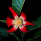 Large-flowered Uvaria