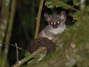 Photo: Galagoides thomasi - Kibale NP, Uganda