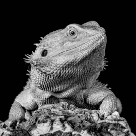 Dragon by Garry Chisholm - Black & White Animals ( macro, nature, bearded, dragon, reptile, lizard, garry chisholm )