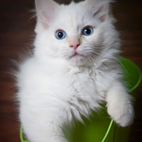 by Leticia Cox - Animals - Cats Kittens (  )