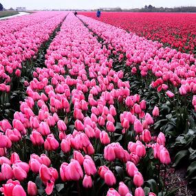 pink tulip field by Fred Goldstein - Flowers Flower Gardens ( field, holland, pink, tulips, flowers,  )