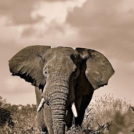The Bull by Pieter J de Villiers - Black & White Animals ( animals, elephant bull, elephant, black  & white, bull )