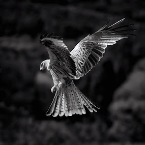 Red Kite hovers in dark sky by Stephen Crawford - Black & White Animals ( black and white, bellymack, laurieston, red kite, in flight,  )