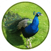 Peacock Wallpapers HD New‏