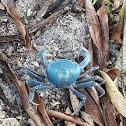 Cangrejo azul de la tierra
