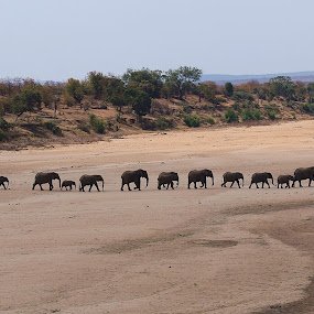Elephants on a march by Hennie Wolmarans - Animals Other Mammals ( national park, animals, nature, elephant, wildlife, landscape,  )