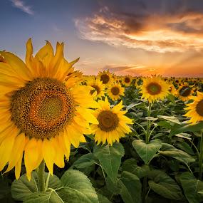 Sunflower field by Evgeni Ivanov - Landscapes Prairies, Meadows & Fields ( plant, orange, colorful, agriculture, cloudscape, scenic, landscape, dusk, field, nature, blue, horizontal, vibrant color, cloud, rural scene, flower, petal )