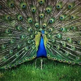 Peacock by Beverly Lee - Animals Birds ( feather, peacock, bird.feathers, zoo )