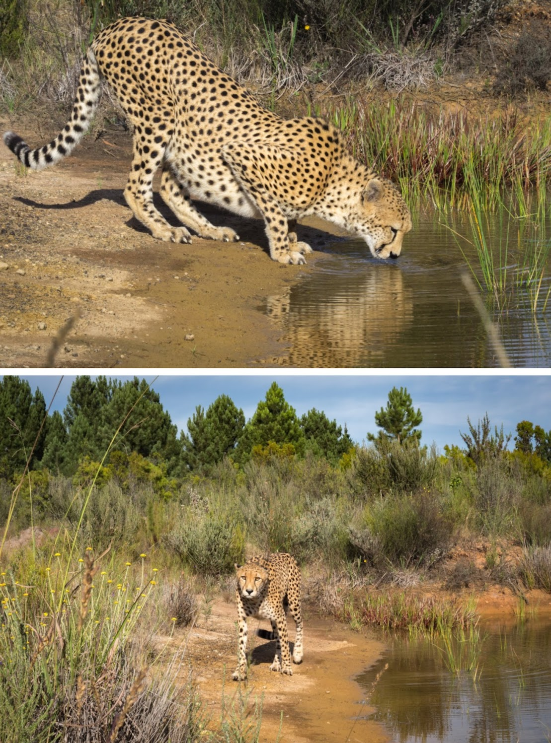 Walking with cheetah was also a highlight of this South African itinerary. What a privilege!