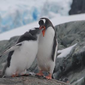 Feed Time by Mark Molinari - Animals Birds ( #antartica #penguin,  )