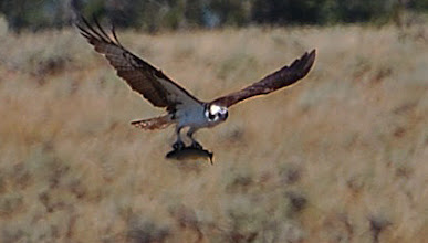 Photo: Osprey with fish