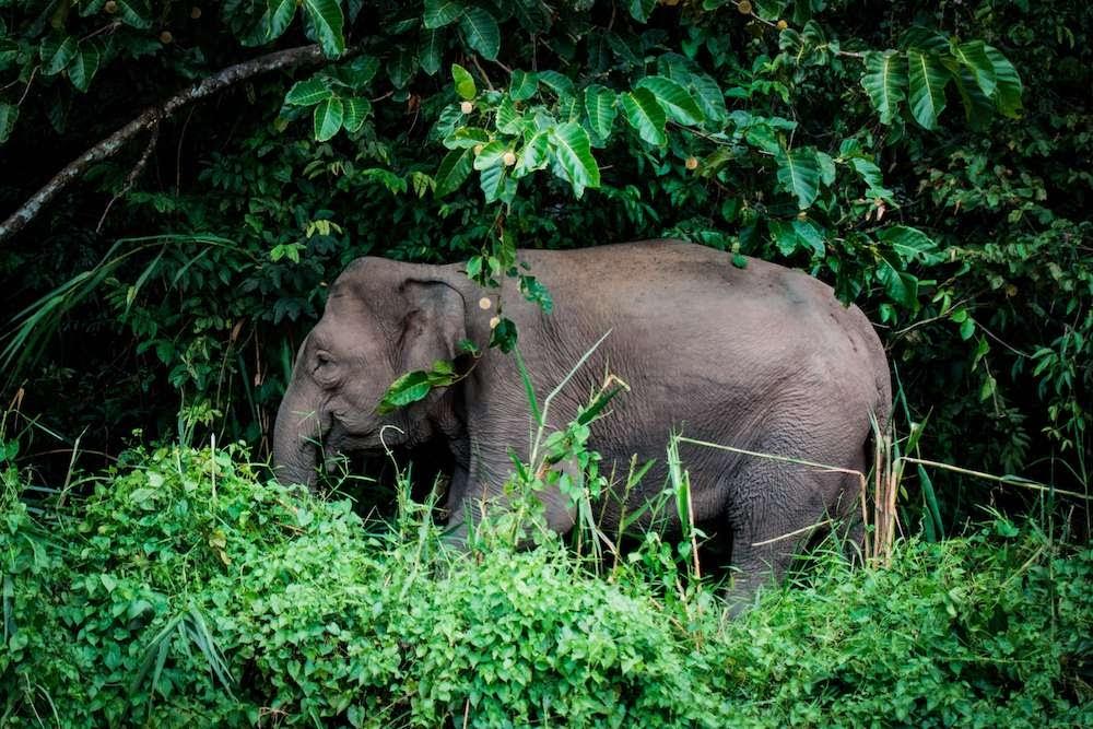pigmy+elephant+kinabatangan+river+sabah+borneo+malaysia