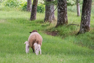Photo: Ewe and lambs, again