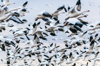 Photo: Flock of snow geese taking off.