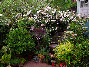 Photo: climbing rose 'Cecile Brunner' and potted plants on patio