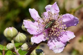 Photo: Rubus ulmifolius, rovo, elm-leavedbramble