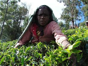 Photo: 7B220954 na plantacji herbaty