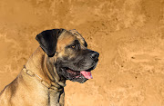 A boerboel was responsible for the death of David van Deventer in Bloemfontein in 2011, a full bench of high court judges has ruled.