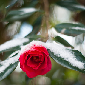 Last Snow. by Nathaniel Jorge - Nature Up Close Flowers - 2011-2013