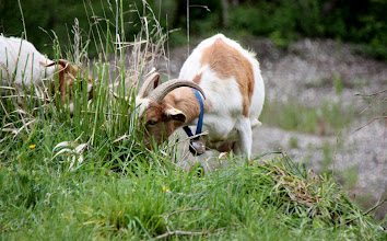 Photo: Day 36 - Goats with Bells!