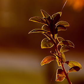 natural light...sunrise by Ivy Luna - Nature Up Close Leaves & Grasses ( #sunlight on leaves, #burning leaves, #natural light, #leaves, #fine light,  )