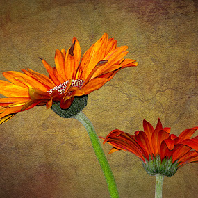 CLOSE TO THE END by Sharon Pierson - Nature Up Close Flowers - 2011-2013 ( orange daisies gerber gerbera,  )
