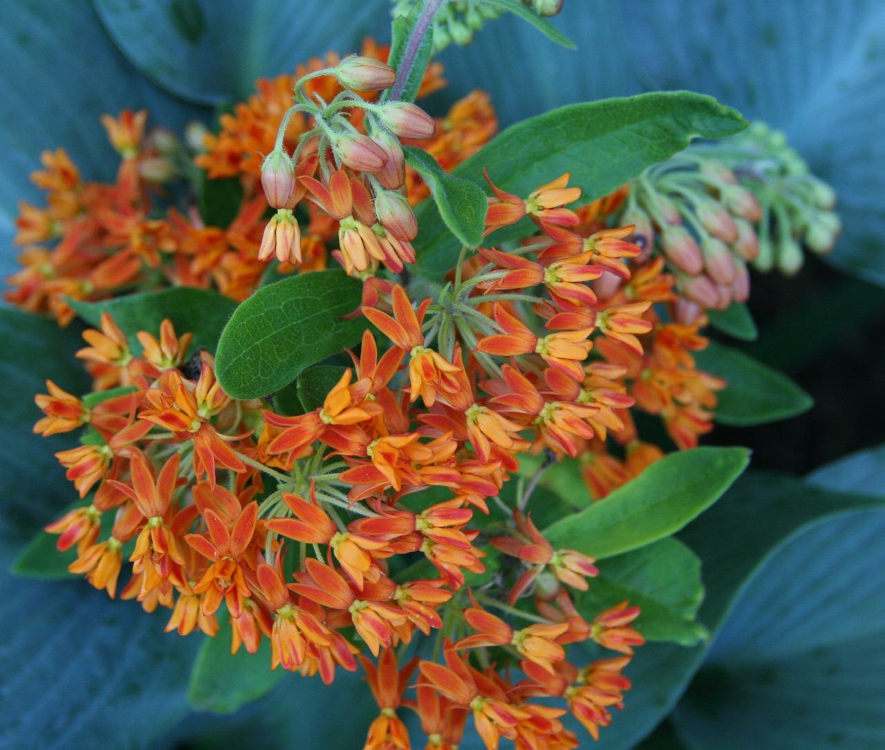 orange Butterfly Weed flowers