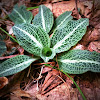 Downy Rattlesnake Plantain
