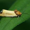Yellow Spragueia