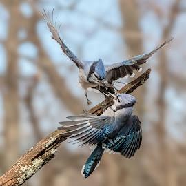 Blue Jays Fighting 8904 by Carl Albro - Animals Birds ( blue jay, wings, fighting, birds, wildlife )
