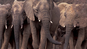 Elephants on The Edge thumbnail